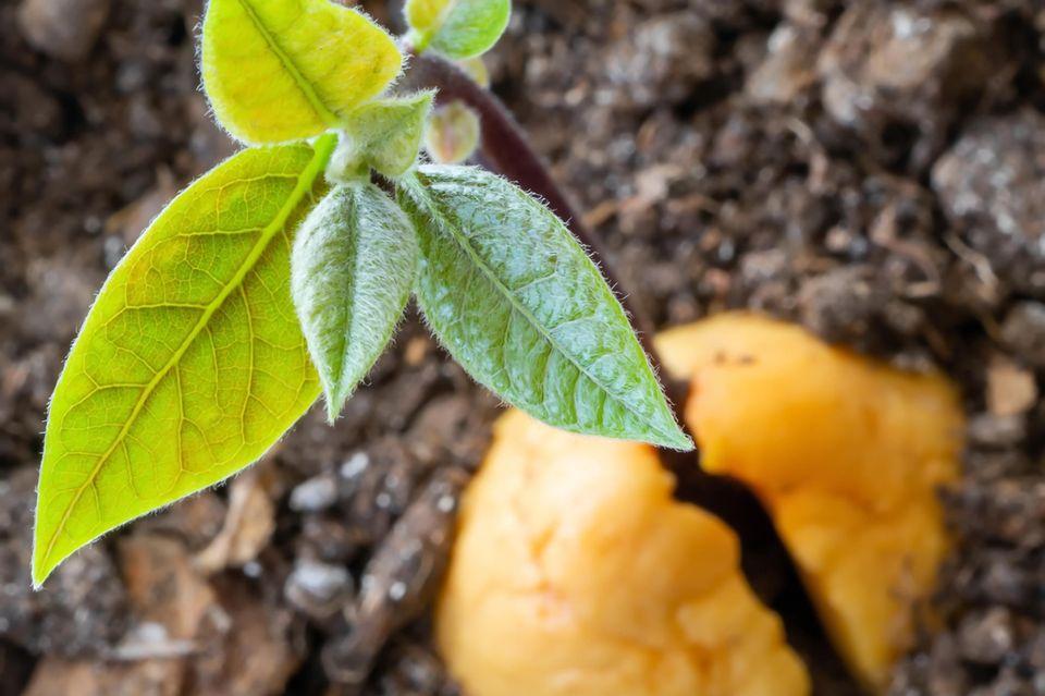 Avocadokern mit Sämling steckt in einem Topf mit Erde