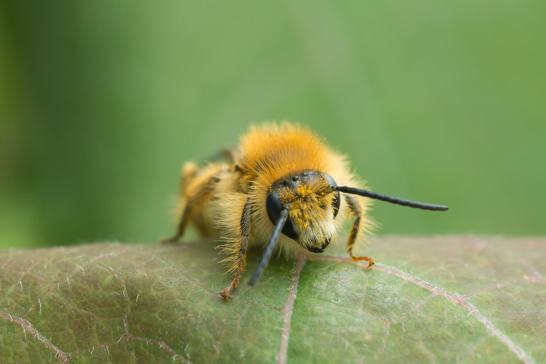 Braunbürstige Hosenbiene, Dasypoda hirtipes