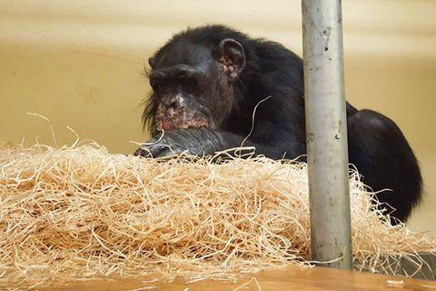 Schimpansendame Bally (46) überlebte die Brandkatastrophe im Krefelder Zoo