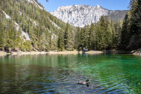 Eine Ente schwimmt auf dem Grünen See in der Steiermark