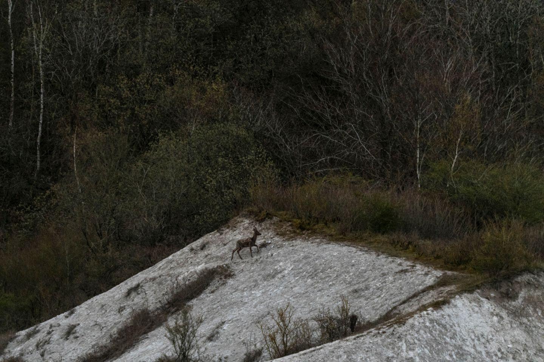 So sicher wie Steinböcke in den Alpen bewegen sich auch Rehböcke an den Wänden der Kreidefelsen auf Rügen entlang