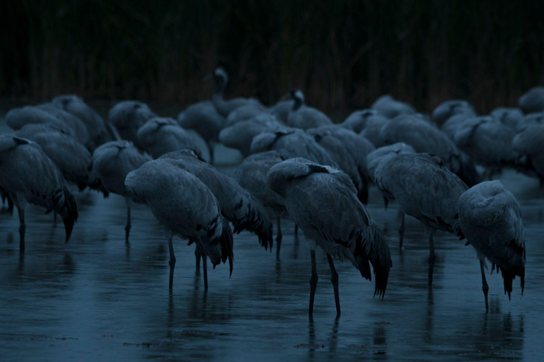 Etwa 70 Kranich-Paare finden im Naturpark Nossentiner Schwinzer/Heide ihre Brutplätze. Die Vögel richten ihre Schlafstätten so ein, dass sie nachts vor Fressfeinden geschützt sind. Silberreiher etwa schlafen auf Bäumen. Kraniche hingegen stehen nachts in größeren Gruppen im seichten Wasser. Wenn sie fest schlafen, stecken sie ihren Kopf ins Rückengefieder. Üblicherweise werden einige Kraniche immer wieder wach, um die Gruppe bei Gefahr warnen zu können