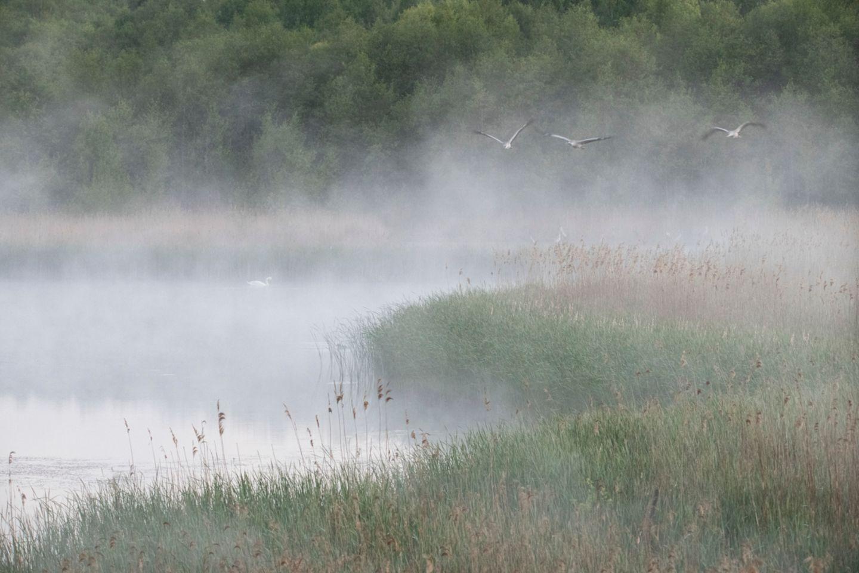 Im Schutz der Bäume und des nassen Schilfgürtels verbringen Kraniche ihre Nächte. Die Vögel des Glücks schlafen gemeinsam mit anderen Kranichen der Region in seichten Buchten von Seen, wo sie vor Bodenfeinden geschützt sind. Frühmorgens im ersten Licht fliegen sie zu ihren Futterplätzen auf Wiesen und Felder