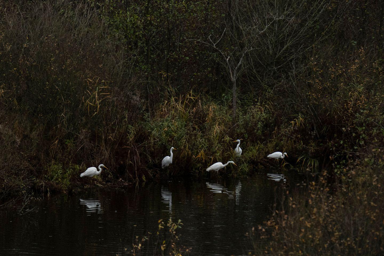 Zu Rastgemeinschaften der Silberreiher kommt es auch im Naturpark Nossentiner/Schwinzer Heide. Die eleganten weißen Silberreiher können hier an zahlreichen Gewässern mit Fischen und Amphibien ihr Nahrungsspektrum erweitern. Besonders im November scheint es, als wären sie aus einer anderen Zeit