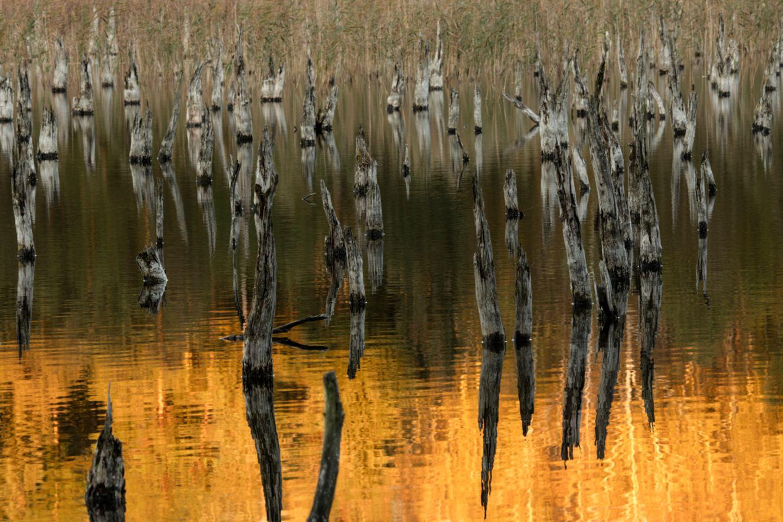 Für eine kurze Zeit im Jahr setzt vor der blauen Stunde die goldene Stunde ein. Unter dem abgestorbenen Birkenwald haben sich die Seeterrassen in ein natürliches Seebett zurückverwandelt. In der Ferne scheint das neue Seeufer auf. Hinter dem Schilfgürtel tragen Birken zu dieser Zeit gelbes Laub und reichen das Abendlicht an die toten Birken weiter
