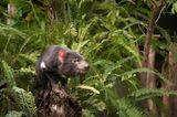 Tasmanischer Teufel sitzt auf einem Stamm