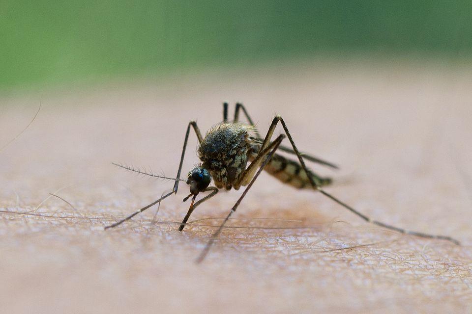 Mücke sitzt auf einem Arm