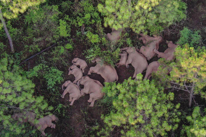 Eine Elefantenherde liegt am Boden und schläft. Die umherwandernde Herde von 15 asiatischen Elefanten sorgt derzeit in China für Aufsehen. In ihrer Heimat bereits berühmt, werden Chinas wandernde Elefanten nun zu internationalen Stars