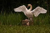 """15.06.2021      """"Ein Schwanennest mit jungen Babys mit Ihrer Schwanenmutter mit gespreizten Flügeln""""  Kamera:Nikon D2 mit 500 mm Spiegelobjektiv"""