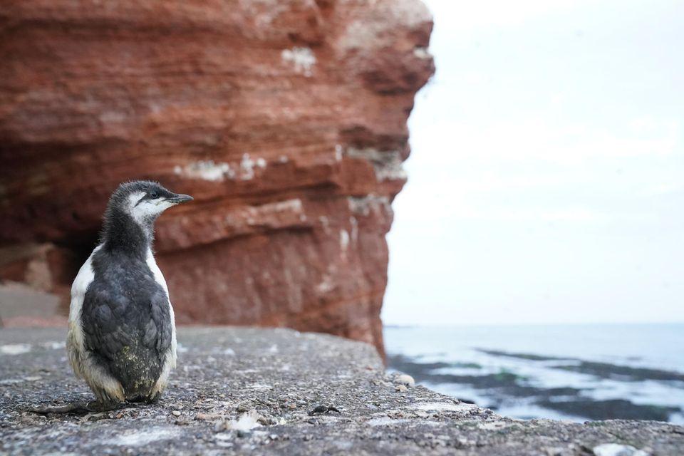 Ein Trottellummenküken sucht nach seinem Sprung vom Lummenfelsen auf Helgoland nach seinen Eltern