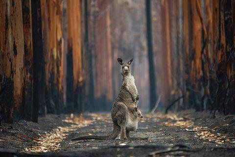 Die verheerenden Buschfeuer in Australien im letzten Jahr haben Spuren der Verwüstung hinterlassen: Millionen Hektar Land verbrannten und mehr als 100 Tierarten waren nach den Bränden auf Unterstützung angewiesen. Jo-Anne McArthur gelang ein Bild der Hoffnung: Ein Östliches Graues Riesenkänguru, das ihr Junges im Beutel durch den verkohlten Wald trägt. Mit ihrer Aufnahme wurde McArthur zur Gesamtsiegerin des BigPicture Natural World Photography Competition gekürt.
