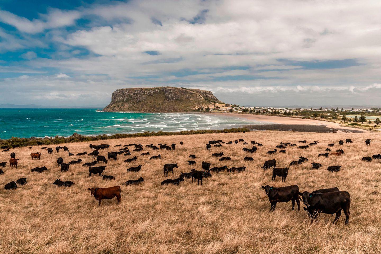 Kühe stehen auf einer Weide vor Stanley und The Nut