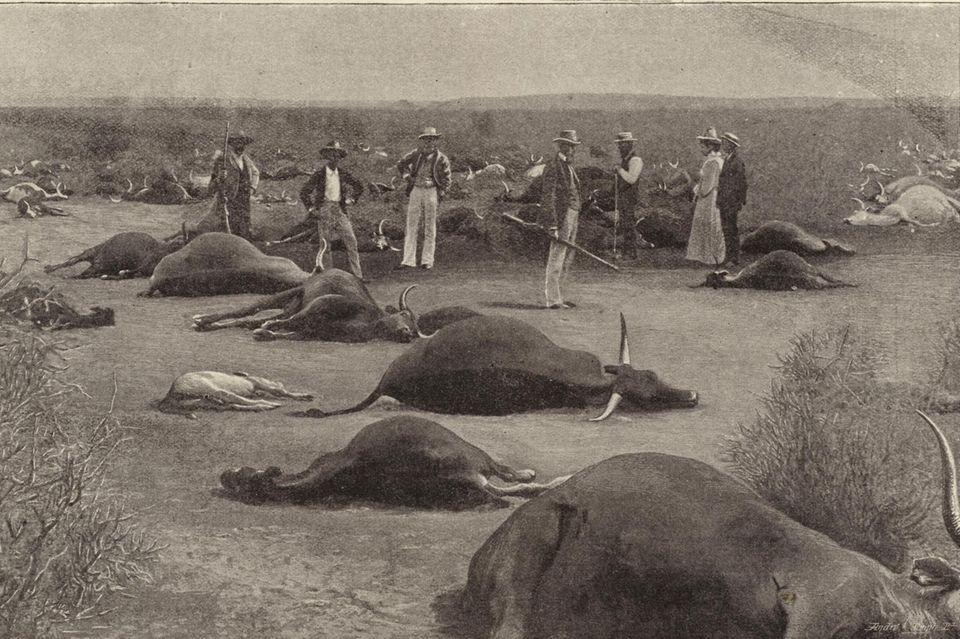 Infizierte Herden wurden erschossen, wie hier um 1900 in Südafrika. Mit drakonischen Maß-nahmen brachten die Kolonialherren viele Einheimische gegen sich auf