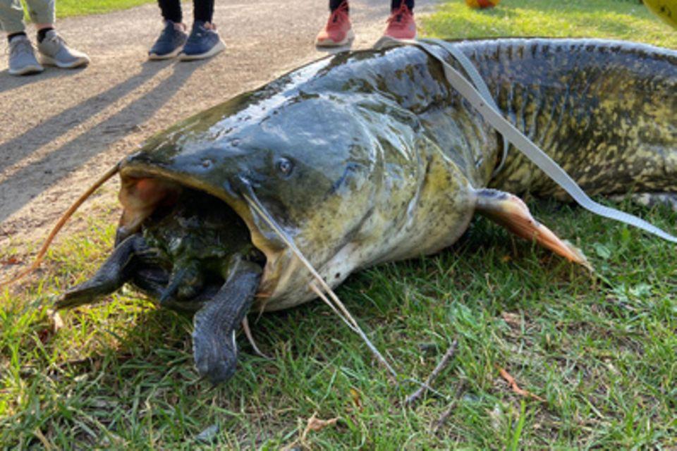 Wels verschluckt eine Schildkröte – Angler ziehen ihn an Land