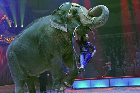 Elefant führt eine Nummer im Zirkus auf