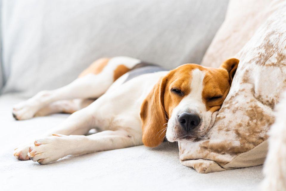 Müder Hund schläft auf dem Sofa