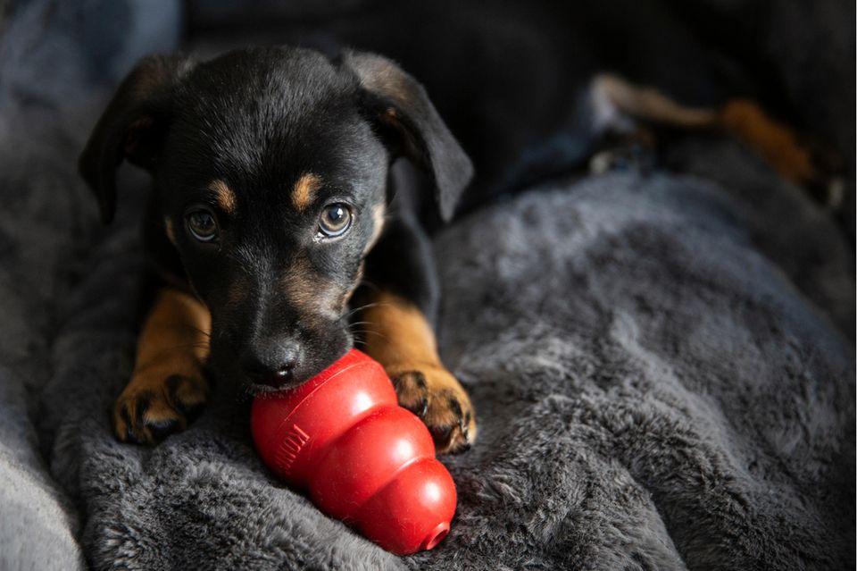 Hund mit rotem Kong