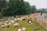 Auf dem Oderdeich nahe Criewen in der Uckermark grasen Schafe