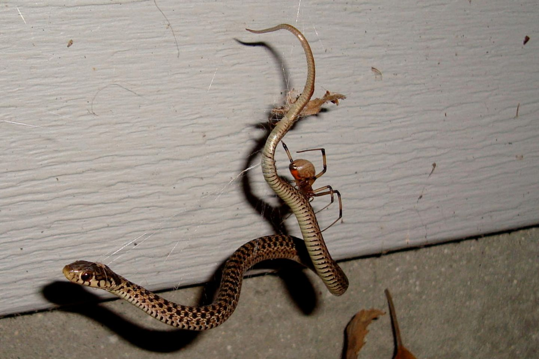 Eine junge Strumpfbandnatter ist im Netz einer Schwarzen Witwe gefangen. Die Schwarze Witwe und andere Spinnen können selbst vielfach größere Schlangen erbeuten und fressen