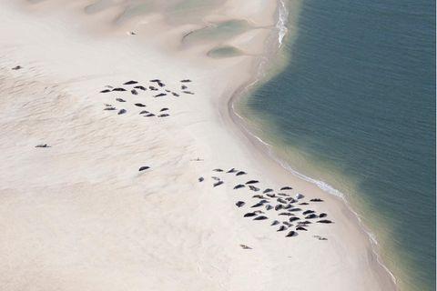 Kegelrobben auf einer Sandbank im Wattenmeer