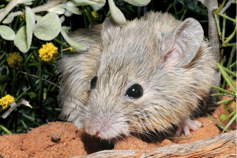 Genetisch identisch: die Shark Bay-Maus und die Gould-Maus