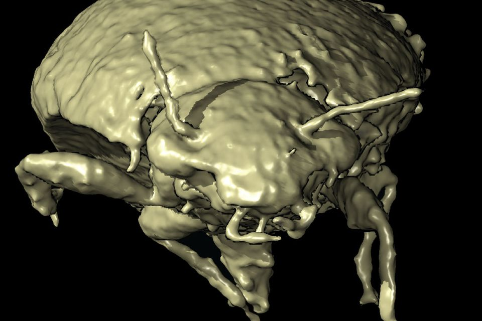 Käfer in Dinokot