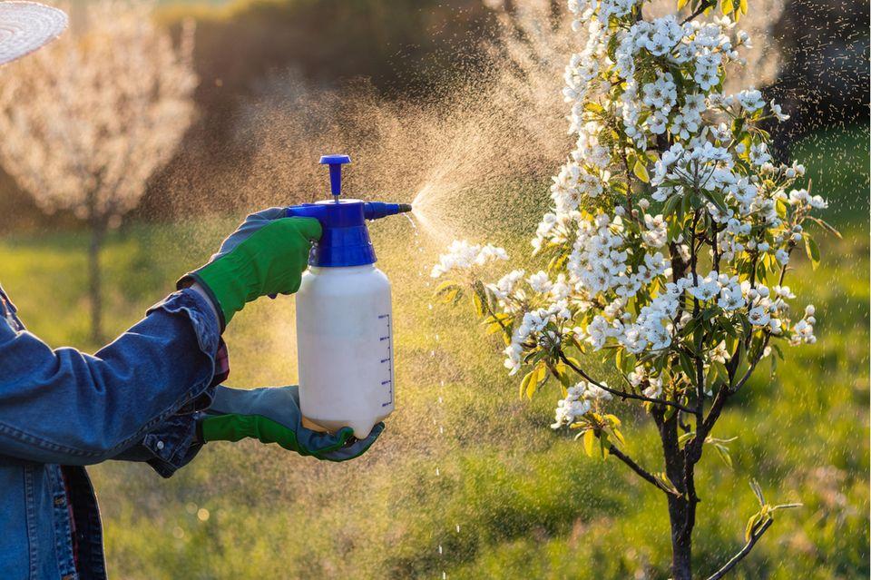 Ein Obstbaum wird zum Schutz vor Schädlingen besprüht