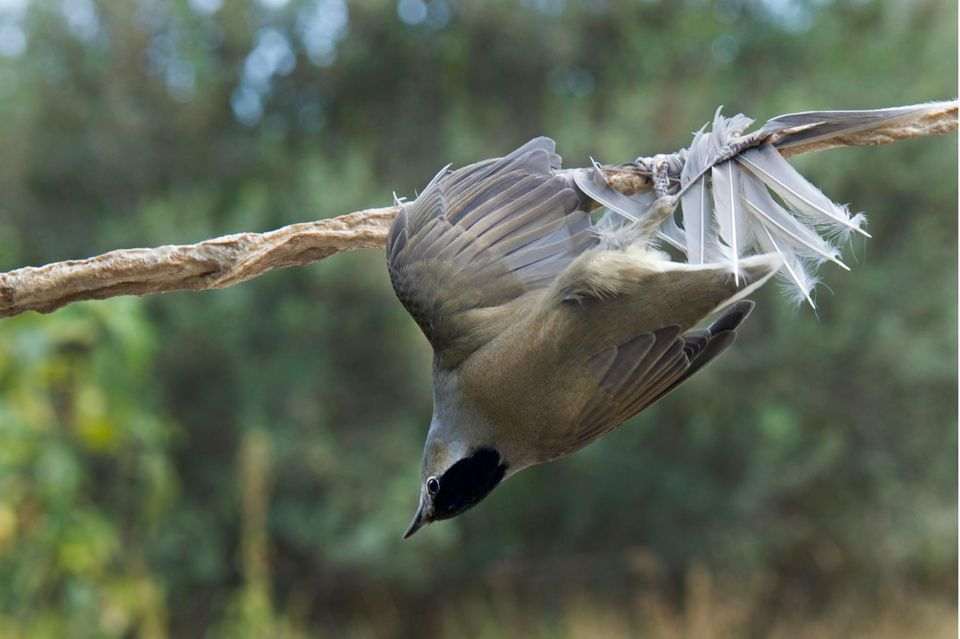 Mönchsgrasmücke klebt an einem mit Leim beschmierten Ast