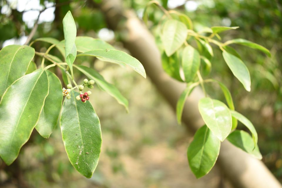 Blätter und Äste des Sandelholzbaums Santalum album