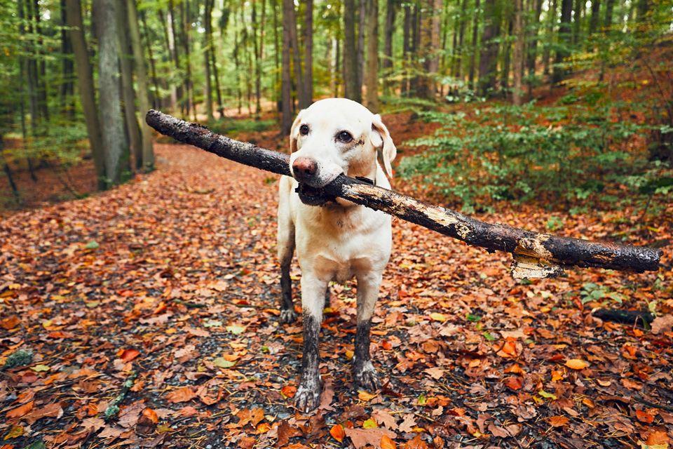 Ein dreckiger Hund mit Stock im Maul im Wald