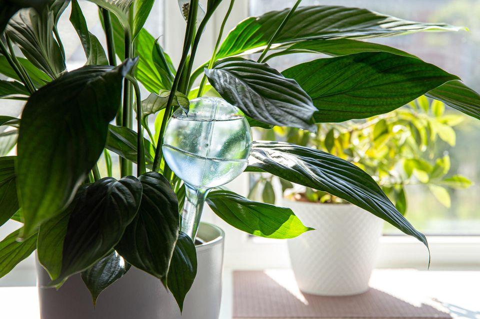 Rund transparente Selbstbewässerungs-Kugel im Blumentopf
