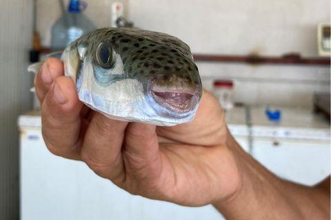 Fischer hält einen Hasenkopf-Kugelfisch in der Hand