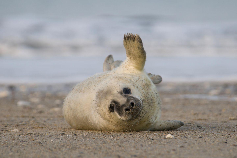 Junge Kegelrobbe liegt am Strand der Nordsee schaut aufmerksam in die Kamera