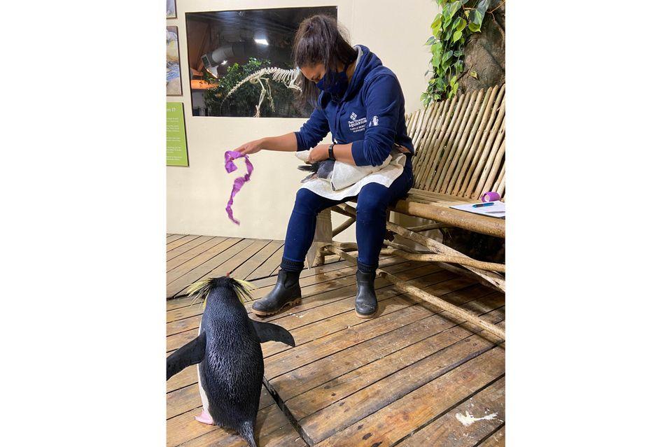 Tierpflegerin Shanet Rutgers verbindet einenPinguinim Two Oceans Aquarium. Die 30-Jährige verhilft greisen Pinguinen mit Sohlengeschwüren wieder zum unbeschwerten Watscheln