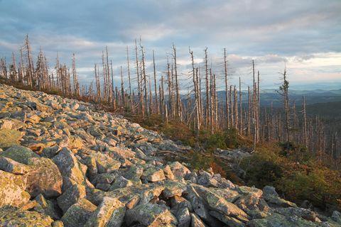 Fichtensterben im Bayerischen Wald: Selbst in Lagen über 500 Metern kommt die häufigste Baumart in deutschen Wäldern mit der Trockenheit nicht zurecht