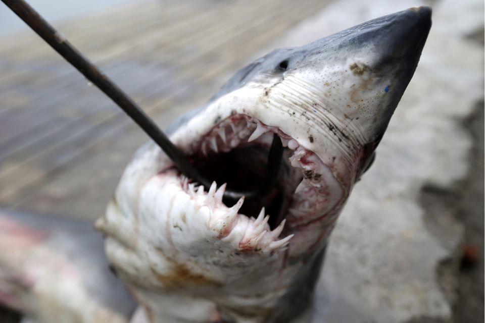 Babyhai wird zum Fischmarkt in Indonesien transportiert