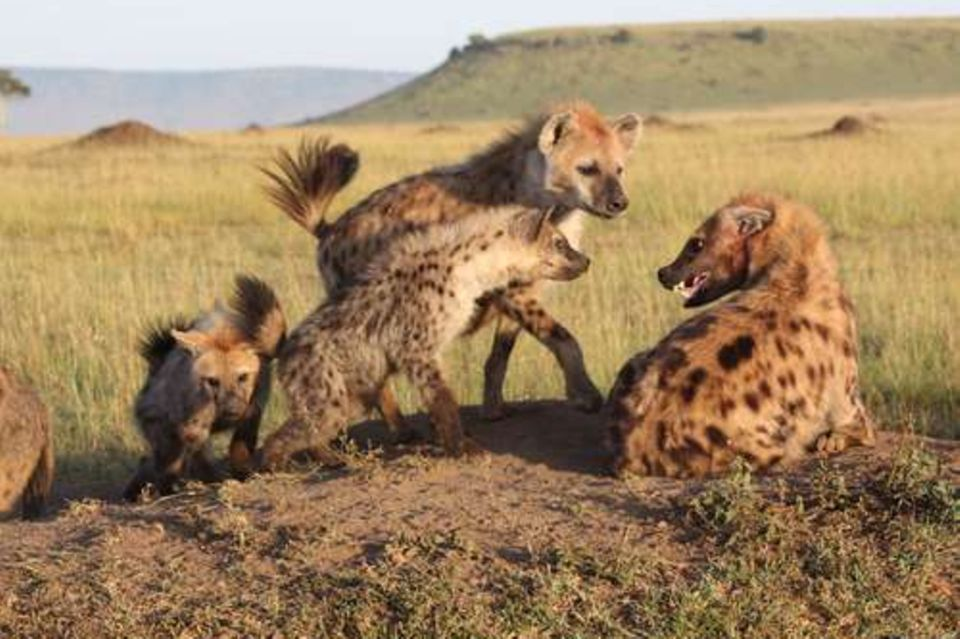 Hyänen in einem Rudel sitzen zusammen