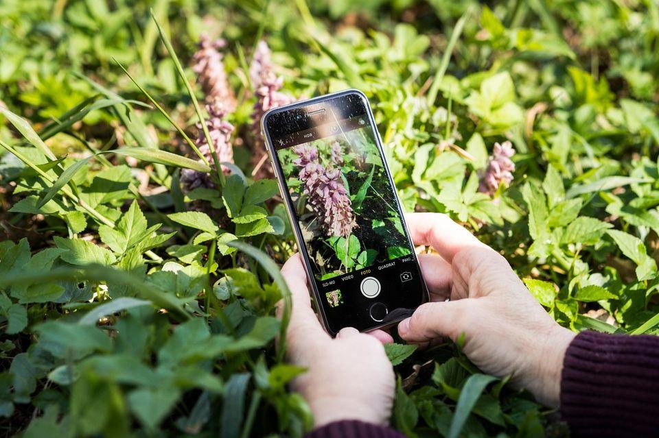 Wenn die Pflanzen ihre Blüten zeigen, wie hier der Gewöhnliche Schuppenwurz, sind sie noch vergleichsweise leicht zu bestimmen. Schwierig wird es, wenn nur Grün zu sehen ist