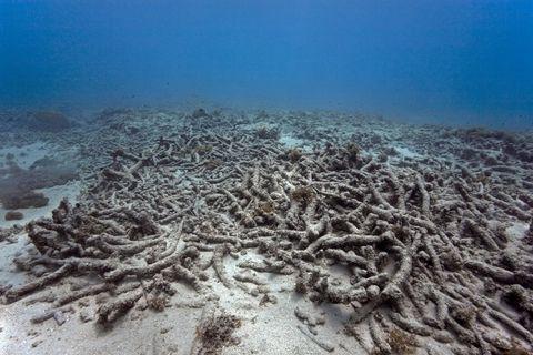 Korallenbleiche im Ozean