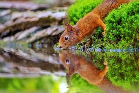 """19.07.2021      """"An einer kleinen Wasserstelle im Wald, kamen viele Tierarten zum trinken und baden vorbei. Darunter auch dieses Eichhörnchen, welches ich in diesem tollen Moment fotografieren konnte.""""      Ort:Waldgebiet an der deutsch-niederländischen Grenze, Maasduinen  Kamera:Sony a7III + Sony FE 200-600mm f5,6-6,3 G OSS f/6.3 1/500 Sekunden ISO 8000  Mehr Fotos vonAndreas Eschweiler"""