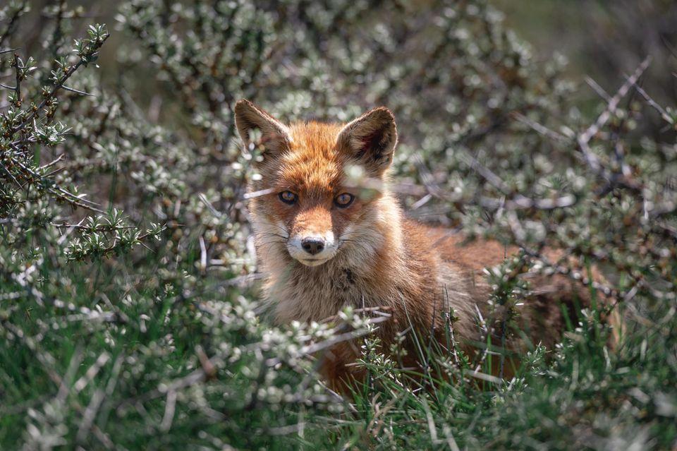 Fuchs im Gebüsch
