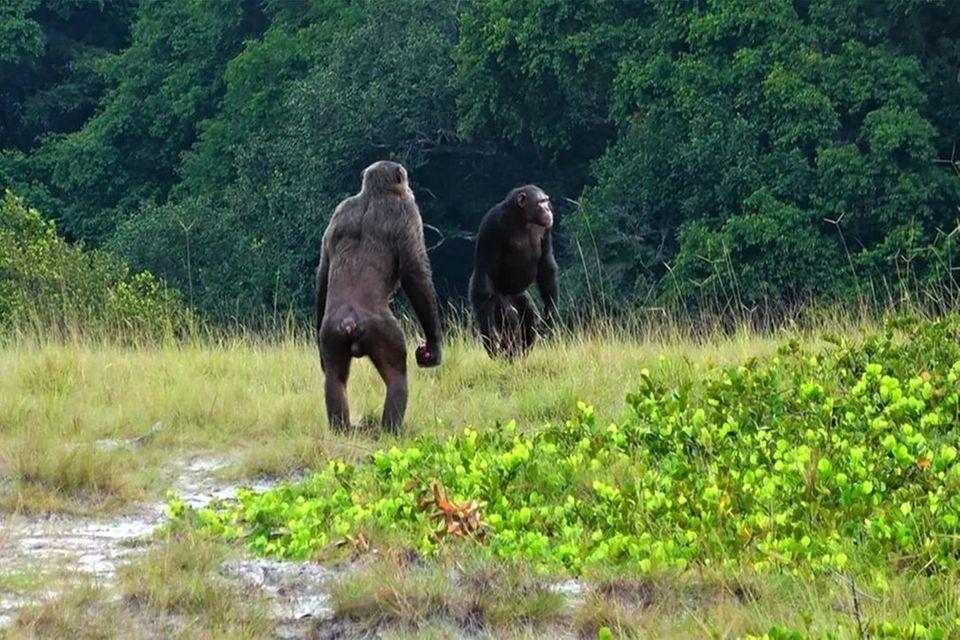 Können enorme Kräfte entfalten: Zwei Schimpansen-Männchen im Nationalpark Loango in Gabun