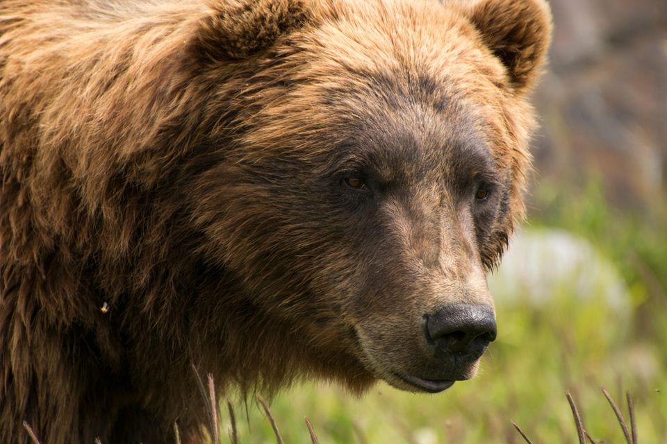 Grizzlybär in der Wildnis von Alaska