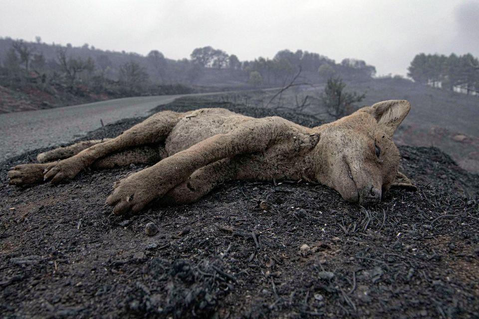 Ein toter Fuchs liegt am Straßenrand, nachdem die Waldbrände in Cugliari in der Nähe von Oristano gewütet haben