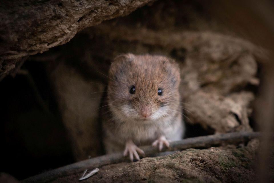 """27.07.2021      """"In einem Waldstück in Aachen entdeckte ich diesen kleinen Nager. Immer wieder lukte sie neugierig aus ihrem Versteck hervor als würde sie für mich posen. Dabei entstand dieses Foto, das mir immer wieder ein Lächeln ins Gesicht zaubert.""""      Kamera:Canon EOS 200D / 300mm  Mehr Fotos vonJulia Sydow"""