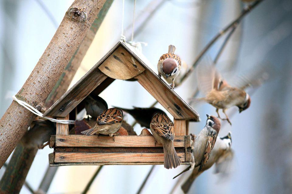 Spatzen am Vogelfutterhaus