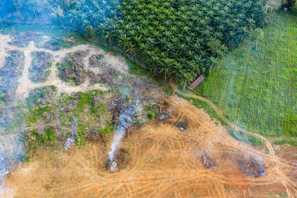 Legale und illegale Vernichtung von Regenwald - zum Beispiel für Palmölplantagen - ist eines der größten Probleme beim Klimaschutz