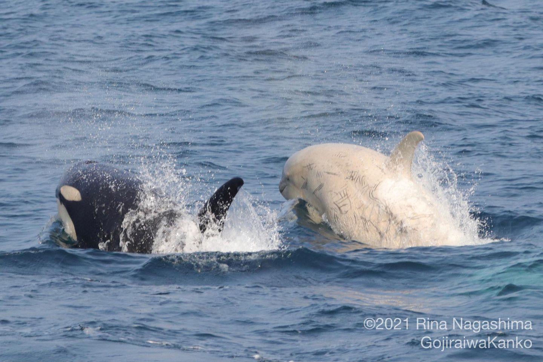 Seltener Anblick: Weiße Orcas leben mit ihren schwarz-weißen Verwandten in Familienverbänden zusammen