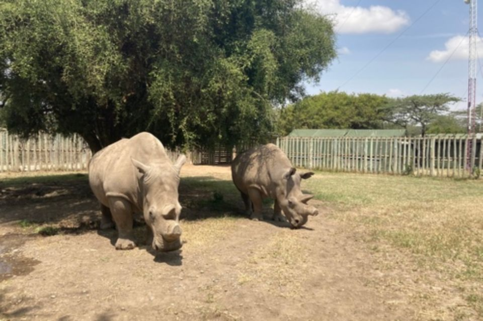 Najin (l) und Fatu (r) stehen in einem Gehege der Ol Pejeta Conservancy. Das Nördliche Breitmaulnashorn ist fast ausgestorben