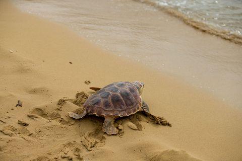 Plastikmüll in den Ozeanen wird auch für junge Meeresschildkröten zur Falle: Grund ist einer Studie zufolge das über Jahrhunderte erworbene Verhalten der Tiere